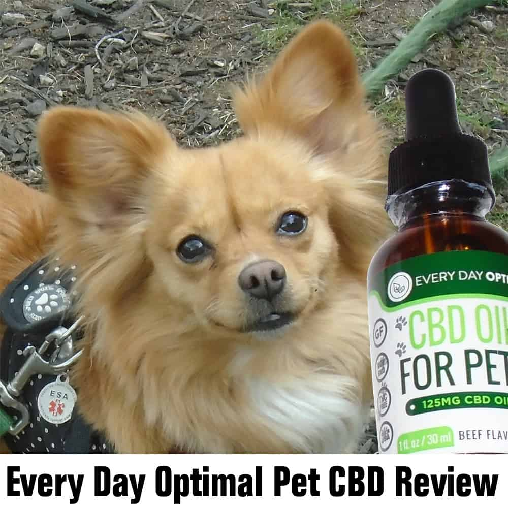 Sweetie the Chihuahua takes Every Day Optimal Pet CBD review pic
